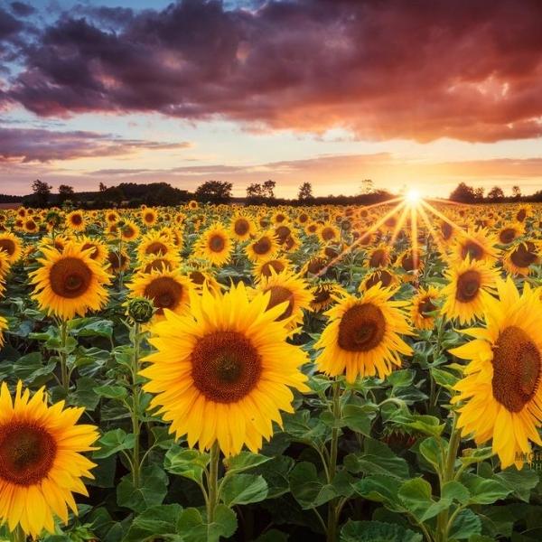 Blogue ExploreVS - Tournesols et couchers de soleil à la ferme